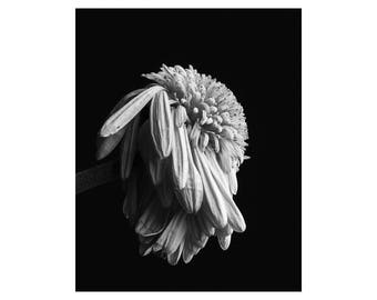 Fine Art Photograph, Still Life, Botanical Print, Daisy, Black and White, Wall Art, Home Decor, Floral, Flower, Nature Photography