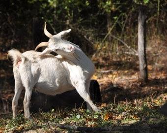 Goat Back Scratcher Digital Photo Download