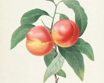 Peaches Botanical Print, Peach Art Print, Fruit Art, Fruit Print, Kitchen Art, Garden, Redoute Art, red, yellow, Pecher a fruits lisses