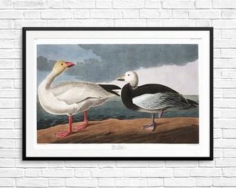 Snow goose, snow geese, goose art, geese art, goose prints, geese prints, goose posters, geese posters, Audubon geese, geese wall art, print