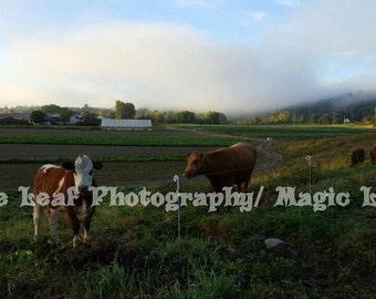 Morning Cows Photograph