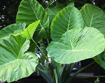 HOT!! Giant Elephant Ear Plant, Fresh Colocasia Gigantea, Huge Foliage SEEDS