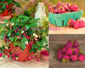 NEW! Strawberry 'Purple Wonder' first ever purple strawberry! SWEET HARDY seeds.