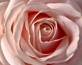 Pale Pink Rose Flower Macro Photo To Print Wall Art Instant Download