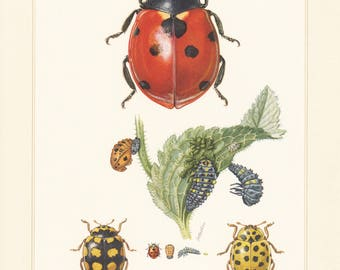 Vintage lithograph of the seven-spot ladybird, small lady beetle, 22-spot ladybird from 1956