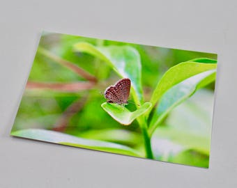 Ciliate Blue butterfly postcard, A6 (glossy)