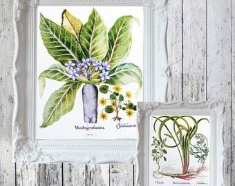 "Mandrake Root Book Plate/Print: Mandragora  /Lesser Celandine & Sweet Flag/ Germander 14 7/8"" x 11 1/2"" ORIGINAL Book Plate Double Sided"