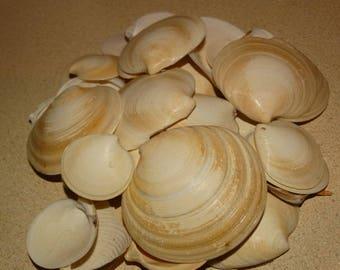 Seashells-Texas, Gulf Coast, Disc Clam Shells, 15 Pieces Galveston Island, Gulf of Mexico  arts & crafts, nautical decor, beach