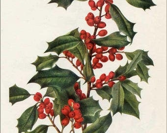 Vintage 1953 American Holly Botanical, Floral Print for Framing, American Wildflower, Vintage Flower Print
