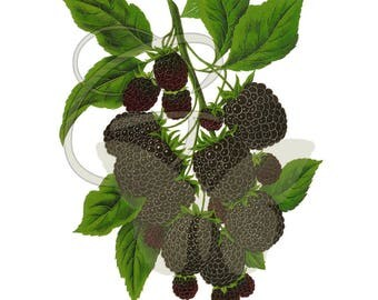 Blackberry Digital Download Fruit Scrapbooking Illustration Printable Clip Art Crafting Artwork