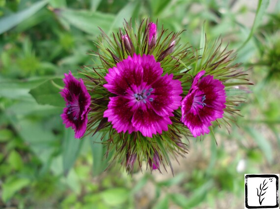 Color Photograph, fine art, wall art, home decor, photo print, magenta, fuschia, flowers, nature, floral, natural, sweet william, spring