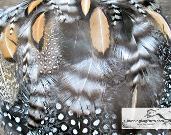 """Assortment of Bird Feathers Guinea Chicken Pheasant Real Feathers Loose Natural Feathers Cruelty Free Feathers For Crafts 25 @ 1.5 - 5"""" / 47"""
