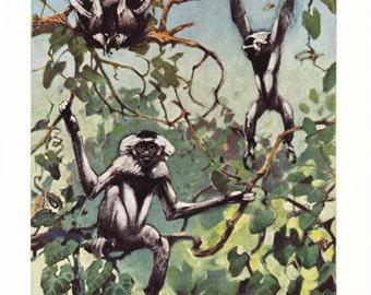 1940s Black Capped Gibbon Print -  Vintage Antique Animal Zoology Zoo Primate Home Decor Book Plate Art Illustration for Framing