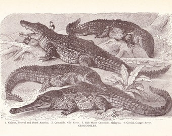 1920s Animal Print - Crocodiles - Vintage Antique Natural Science History Great Framing 95 Years Old