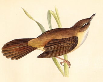Antique Great Sedge Warbler Print . original old vintage bird plate woodblock . vol III, dated 1853 art specimen illustration