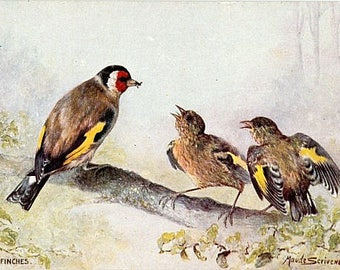 Antique Tuck Oilette Postcard - Goldfinches -- Artist Signed, Maude Scrivener (Unused)