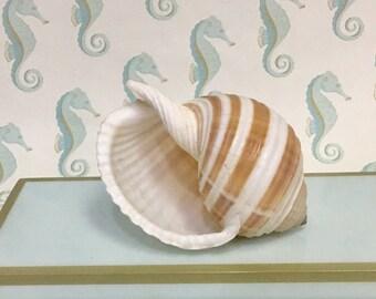 "Seashells - Large Tonna Sulcosa Shell 5""-6"" - sea shell sea shells seashells seashell shell shells wedding decor beach coastal"