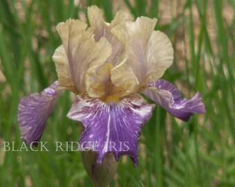 Intermediate Bearded Iris DOE Z DOE 2005 tan and violet streaked