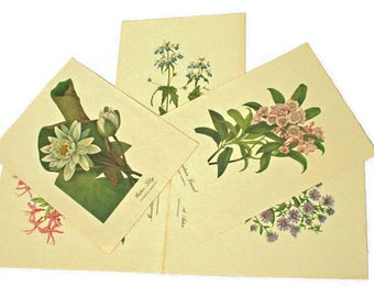 Botanical Prints  /  5 Floral Prints  /  Wild Flower Pictures  /  Mountain Laurel  /  New England Aster  /  Blue Eyed Mary  /  Water Lily