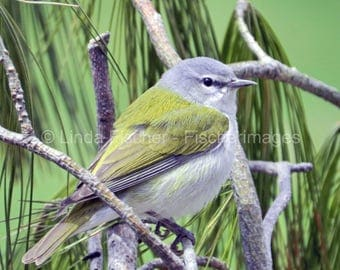 Spring Warbler Bird Resting in Pine Trees Nature Bird Wall Art Home Decor Digital Download Fine Art Photography Linda Fischer Fischerimages