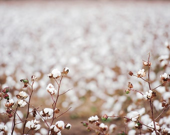 Cotton field in Oakey - Digital Backdrop / Stock Image