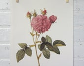 Redoutes Roses Book Page Plate Botanical Wall Art Pink Rosa Gallica Agatha Rose