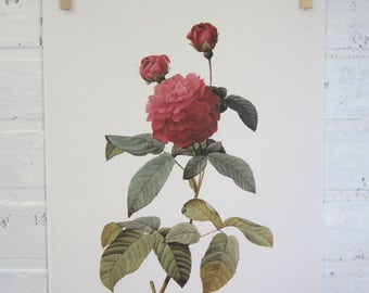 Redoutes Roses Book Page Plate Botanical Wall Art Burgundy Rosa Gallica agatha Rose