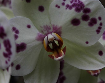 Roaring Purple and White Spotted Orchid Fine Art Photo