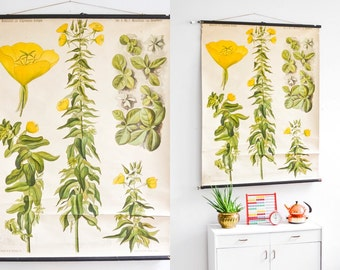 Primrose antique botanical, pull down chart, educational print, school poster primrose Ref: 103