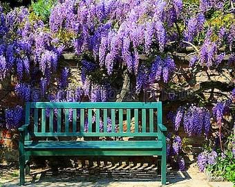 Purple Chinese Wisteria sinensis, 25 seeds, fragrant vine, vigorous climber, romantic garden, zones 5-10, arbor or fence, gorgeous bonsai