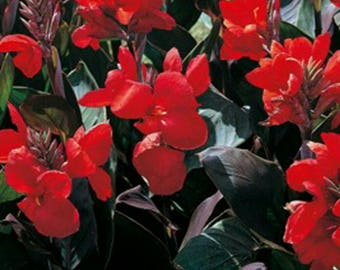 3 Canna Lily Dwarf Tropical Red Futurity dark bronze foliage
