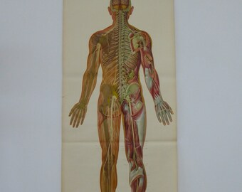 Life-Sized Medical School Chart - Original Vintage Educational Chart Nervous System Muscles - Medical Wall Chart 1970s Dresden, Germany