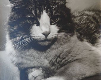 Gorgeous Tabby cat close up vintage art photo by M. Videtta