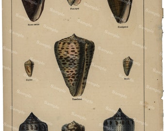 Gorgeous  Natural History original hand colored print of sea shells and cones over 150 years old Rare find