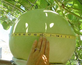 VGH) BUSHEL GOURD~Seeds!!!!~~~~~~Very Utilitarian!!!~~Huge Hardshell Variety!