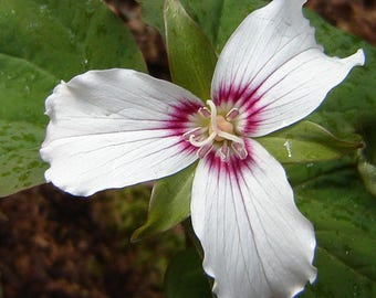 WFT)~PAINTED TRILLIUM~Seeds!!!~~~~~~~~~~Naturalizes Readily!