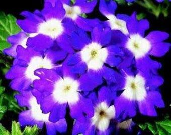 AVEO)~OBSESSION BLUE w. White Eye Verbena~Seeds!~~~~~Gorgeous Bedding Plant!