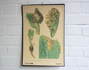 Wall Hanging Botanical Chart Czech Circa 1930's