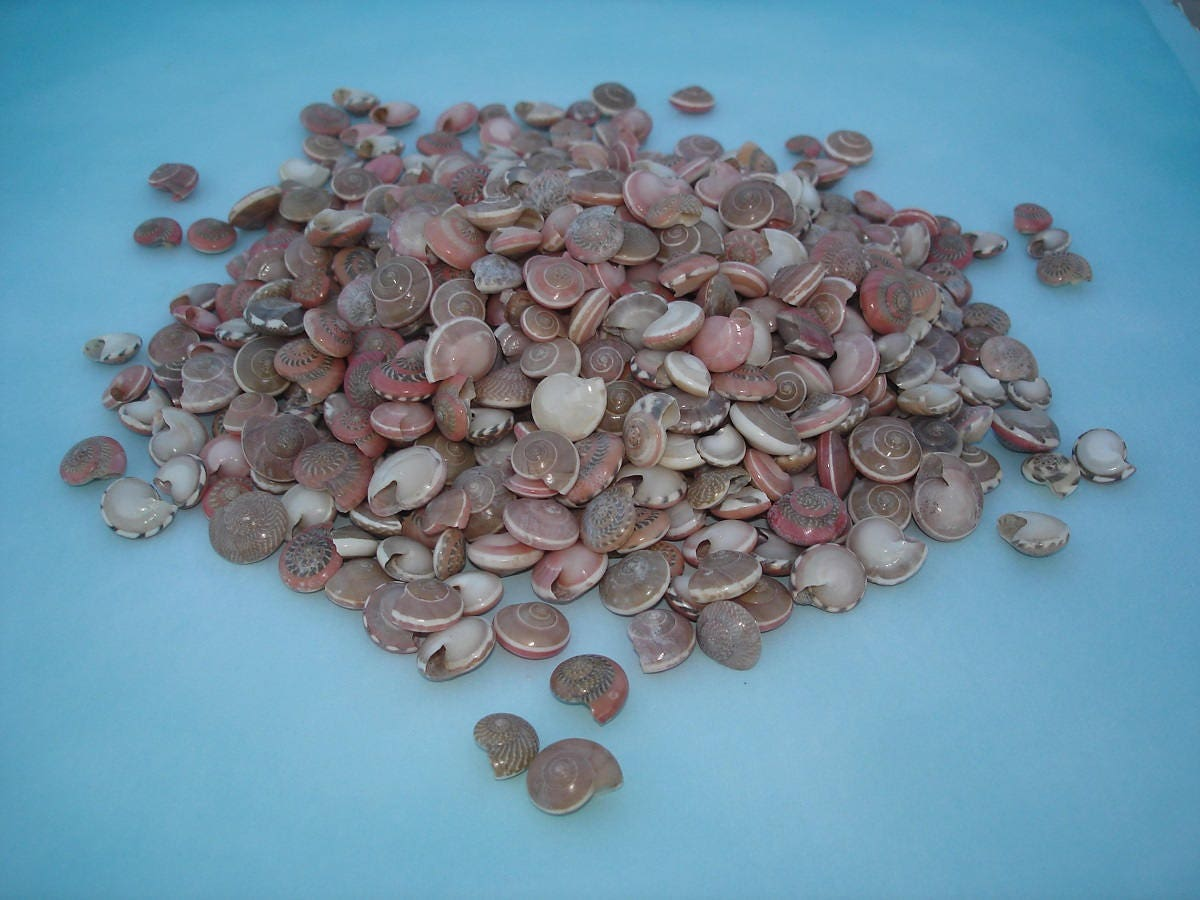 1 cup pink umbonium shells tiny pink seashells pink craft 300 shipping reviewsmspy