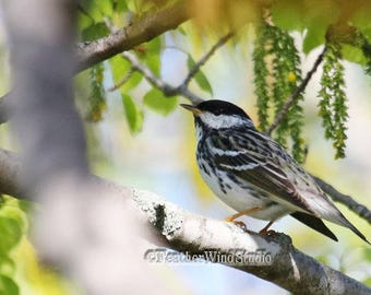Blackpoll Warbler Print | Migrant Songbird Photograph | Spring Nature Wall Art | Black and White Bird | Tropical Warbler | Wildlife Photo