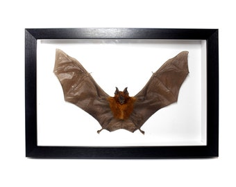 Real Taxidermy Leaf-Nosed bat Framed UK - Curiosities & Oddities Macabre