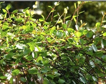 English Muehlenbeckia axillaris Creeping Wire Vine Maidenhair Vine FREE SHIP