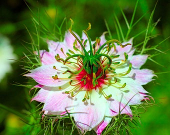 Flower Seeds - Love in a Mist - PINK