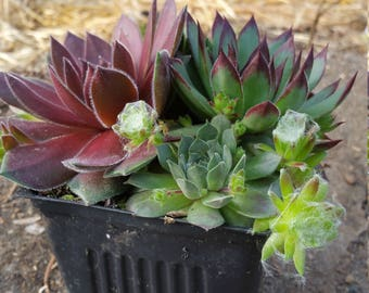 "4"" Pot Sempervivum Premium Plants, Succulents, Rock Garden, Hens n chicks"