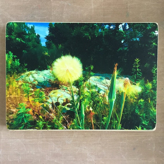 Goat's Beard, Aster, flowers, nature,  flower, Dandelion, outdoors, nature photography, art on wood, flower pic, Claire Bull, Canadian art