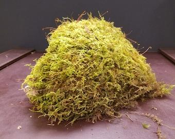 Live Fern Moss / Sheet Moss [Multiple Sizes] (Terrarium, Vivarium, Fairy Garden, Home Decor, Modeling)