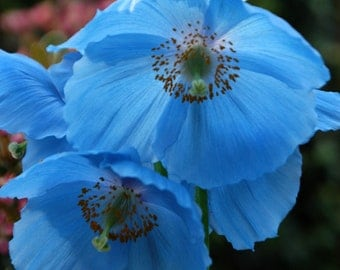 Meconopsis Lingholm (Himalayan Poppy) - 25 seeds. Stunning, hardy perennial with large, deep sky blue flowers in early summer.