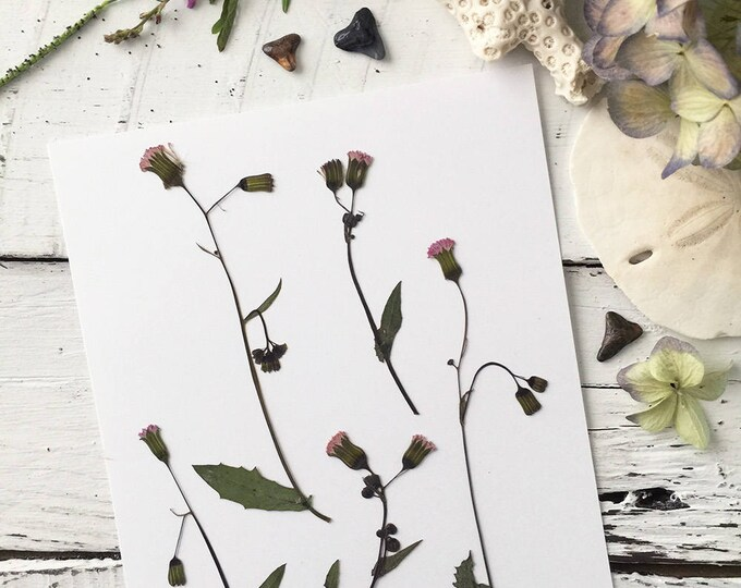 Real Pressed Flowers:  Natural Florida Tasselflower Wildflower > Flora's Paintbrush > Dye Free - Biodegradable - ECO Friendly