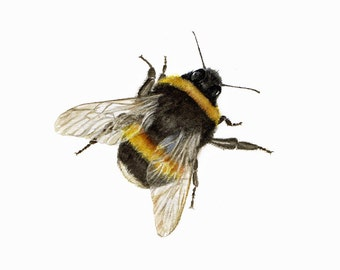 BUMBLEBEE print of a watercolour painting of a Bumble bee by Jan Taylor.