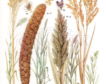 Vintage Wheat Barley and Rye Print - Baking and bread making - Common Millets